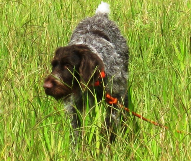 German Wirehaired Pointer GWP