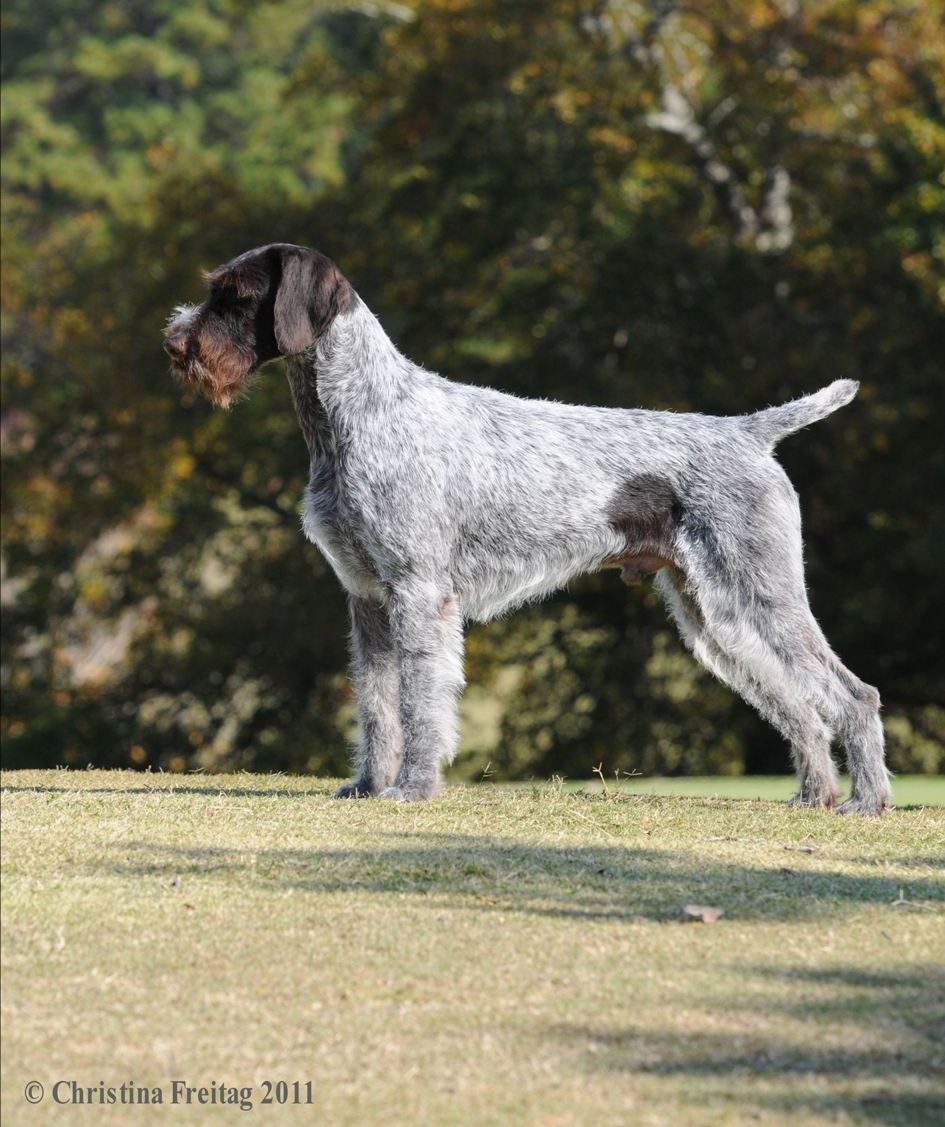 German Wirehaired Pointer Reece Kennels